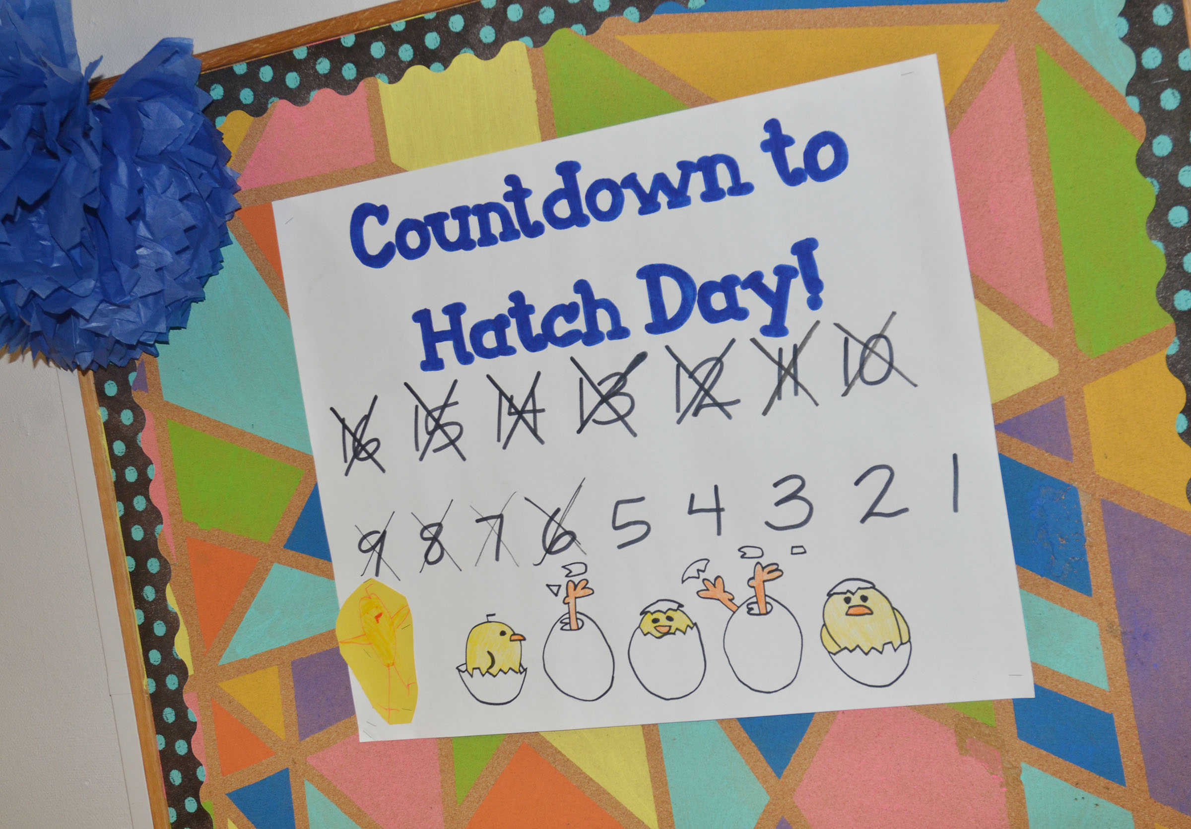 CMS students counted the days until their baby chicks hatched.