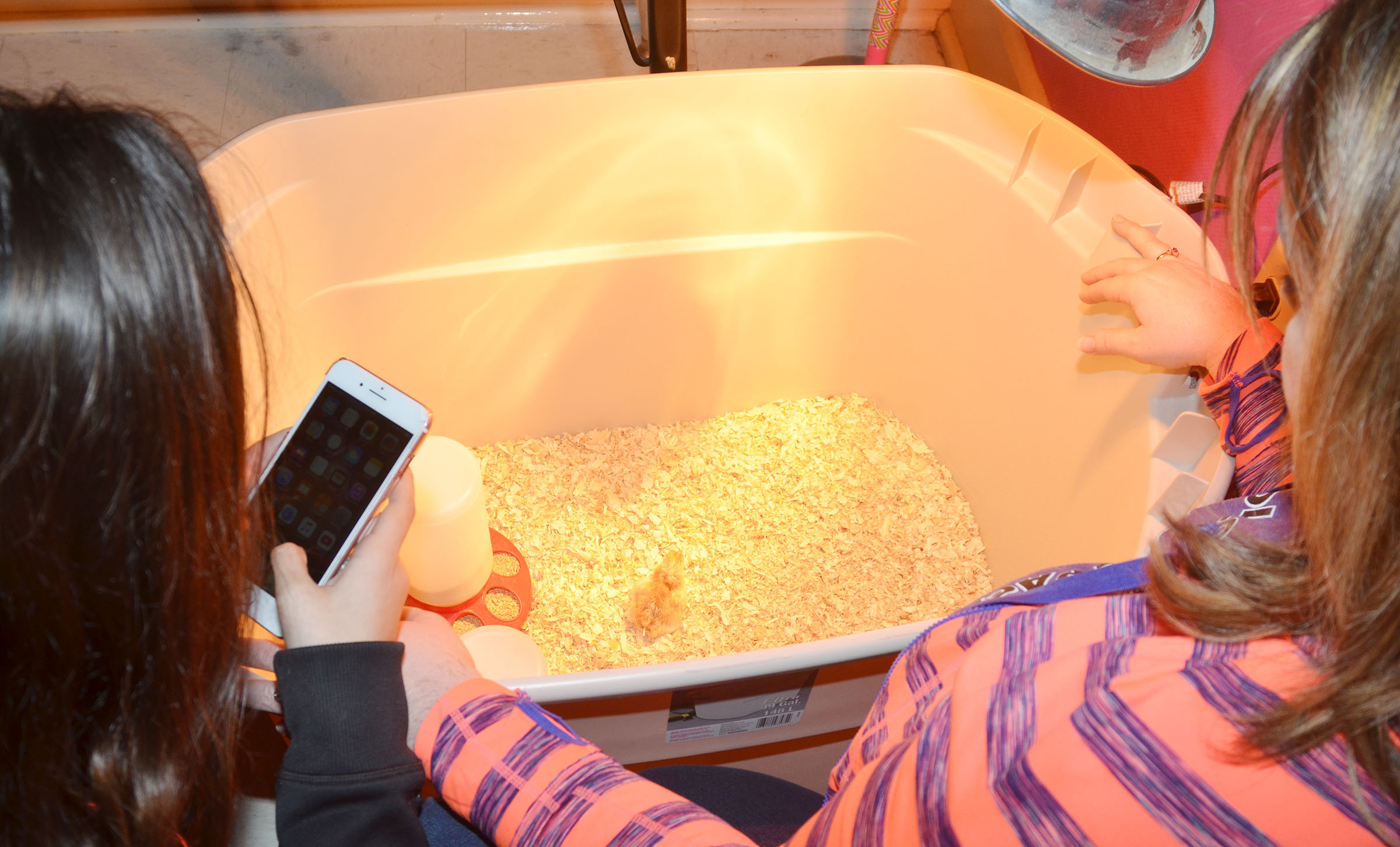 CMS eighth-grade teacher Amy Knifley and her students check on Gogo, the first chick to hatch.