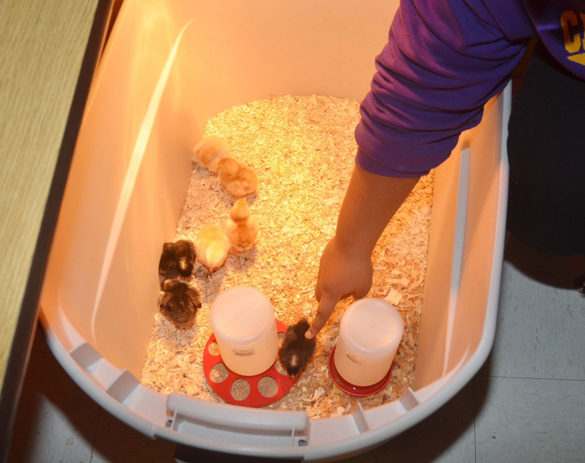 CMS eighth-grader Destany Lane touches one of the baby chicks.